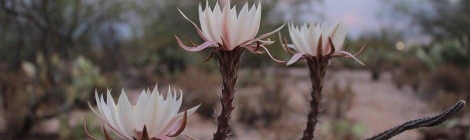 """Drei Blüten des Cactus grandiflorus, auch """"Königin der Nacht"""" genannt."""