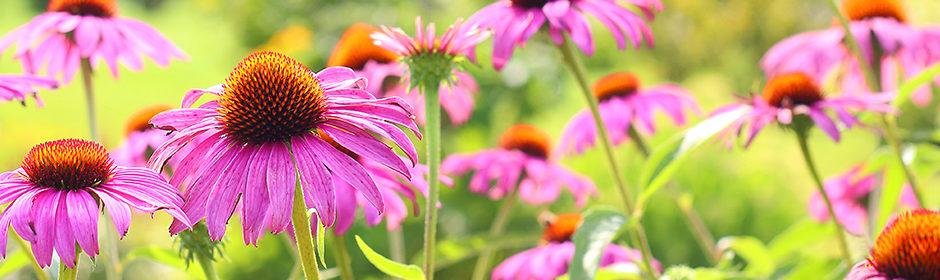 Die Pflanze Echinacea purpurea, auch Purpur-Sonnenhut genannt, in voller Blüte auf einer Wiese.