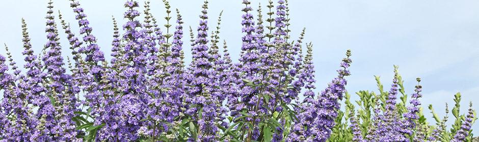 Mönchspfeffer in voller Blüte vor einem blauen Himmel.