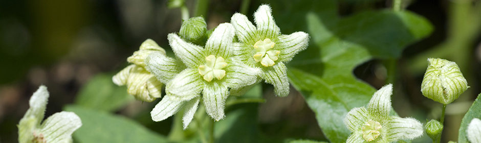 Die Zaunrübe (Bryonia dioica) in voller Blüte.