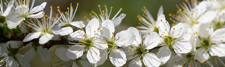 Ein Ast des Weißdorn mit vielen prächtigen, weißen Blüten
