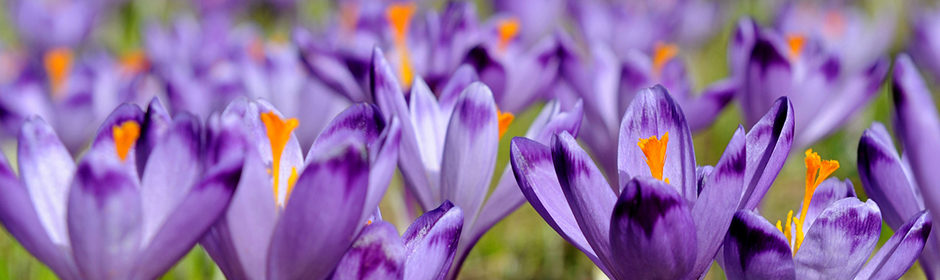 Geöffnete Blütenkelche des Safrankrokus (Crocus sativus)